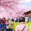 静岡早咲き桜の河津桜とつるし雛★日帰りバスツアー