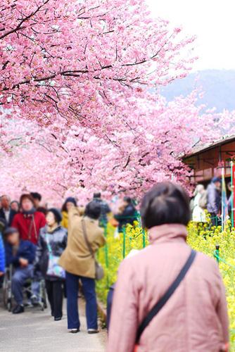 静岡 河津桜