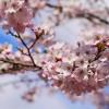 2015年桜 茂原公園と目黒川で桜を見てきたよ♪