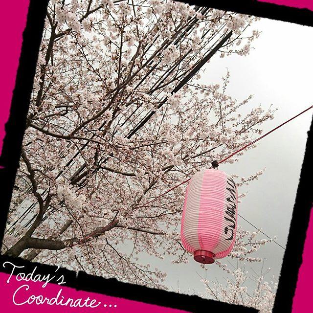 ご近所の桜。綺麗でした! #sakura #japanesesakura #cherryblossom